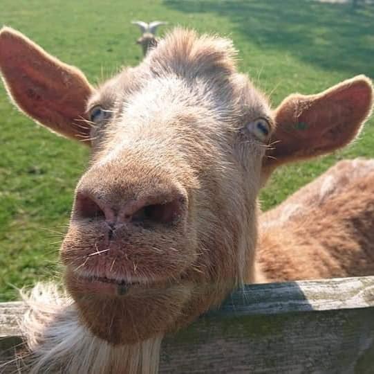 Goat Murton Park