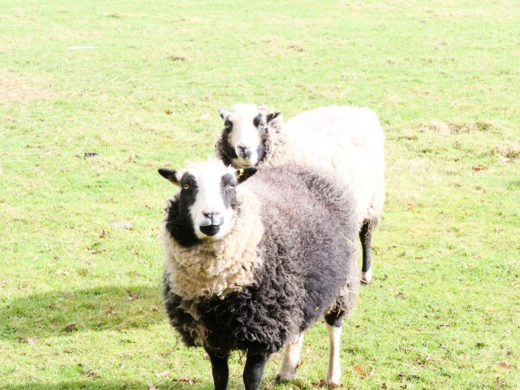 Sheep Murton Park