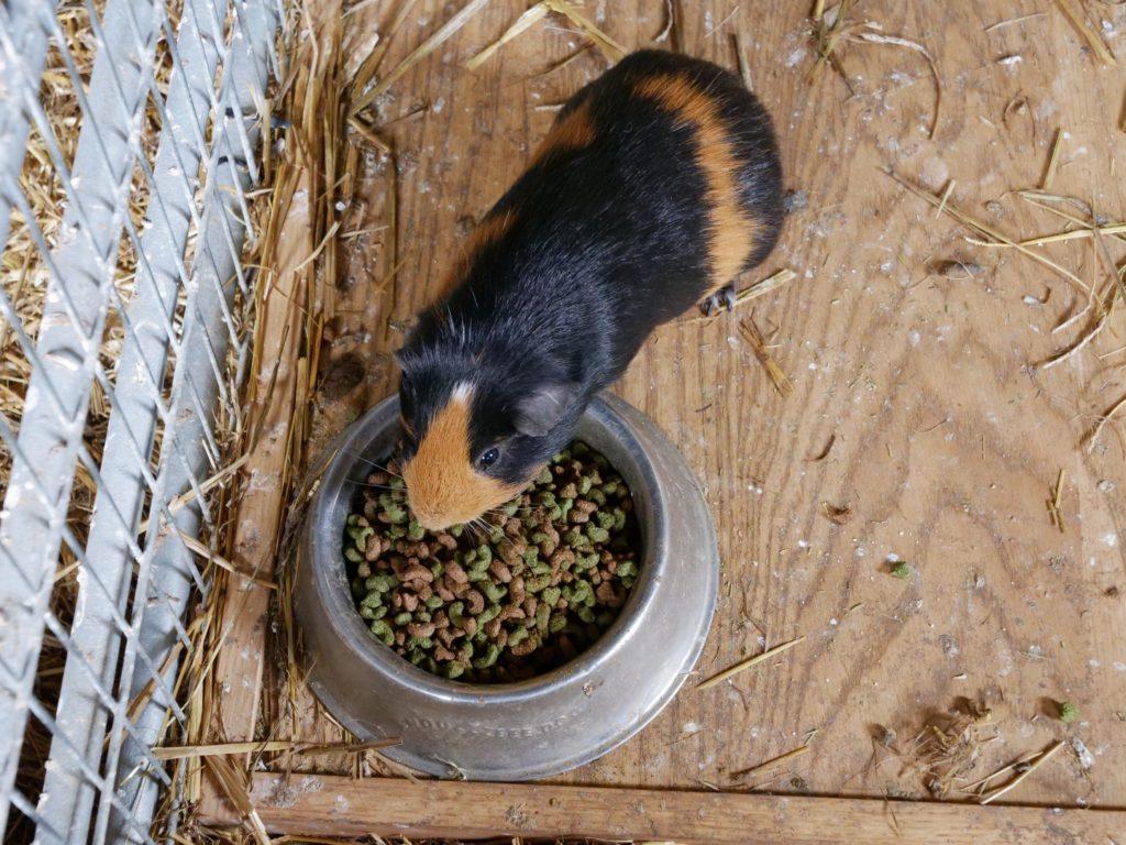 Guinea pig Murton Park
